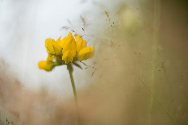 Horseshoe Vetch <br /> Hippocrepis comosa. Wakehurst Place - Royal Botanic Gardens, Kew. Ardingly, West Sussex, UK.