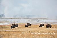 01985-02712 Bison (Bison bison) near Midway Geyser Basin Yellowstone National Park, WY