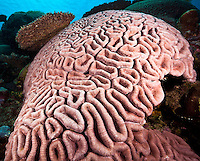 Brain coral,Yap Micronesia<br /> (Photo by Matt Considine - Images of Asia Collection)