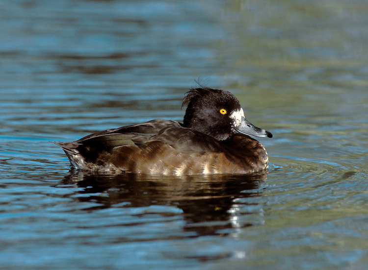 Tufted Duck Aythya fuligula L 40-47cm. Familiar diving duck. Tufted crown useful in identification. Gregarious in winter. In flight, note white wingbar. Sexes are dissimilar in other regards. Adult male has mainly black and white plumage; purplish sheen on head seen in good light. Has yellow eye and black-tipped blue-grey bill. In eclipse, white elements of plumage are buffish brown. Adult female has mainly brown plumage, palest on flanks and belly. Has white at base of bill (less than female Scaup), yellow eye and black-tipped blue-grey bill. Juvenile is similar to adult female but with duller colours. Voice Male utters a soft peep. Status Common year-round on lakes, reservoirs and flooded gravel pits.. Several thousand pairs breed; winter numbers boosted dramatically by migrants from mainland Europe.