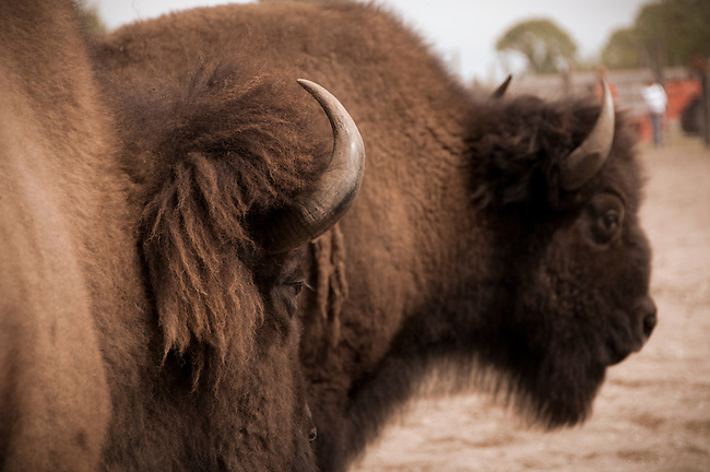 Pair of trained buffalo (bison) at the rodeo.