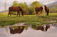 Horses reflected in small stream,<br /> Cades Cove,<br /> Great Smoky Mountains N.P. TN.