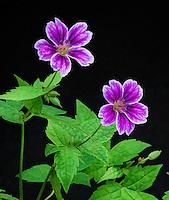 Geranium nodosum 'Clos du Coudray', Robin Parer Geraneaceae nursery, art rendering