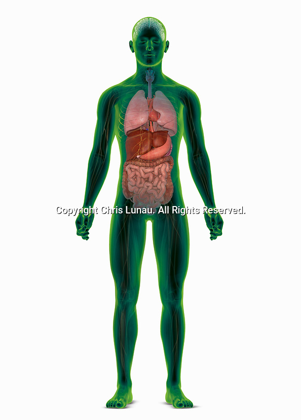 Computer generated biomedical illustration of the human body highlighting the internal organs