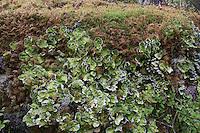 Apfelflechte, Apfel-Flechte, Peltigera aphthosa, Peltigera aphtosa, Lichen verrucosus, Peltidea aphthosa, Freckle Pelt Lichen, Spotted Dog Lichen