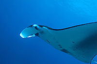 Giant manta ray (manta birostris) swimming in Ari Atoll, Maldives.