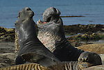 Bull elephant seals challenge during molt