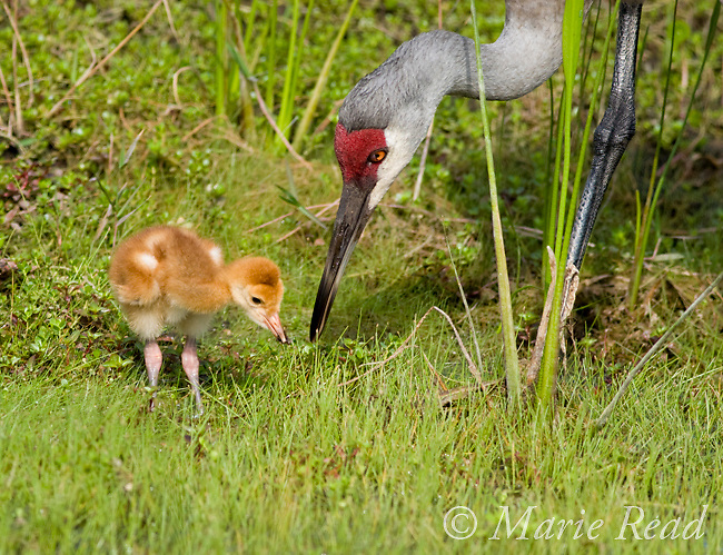 Sandhill Crane (Grus canadensis), Florida race, adult feeding chick, near Kissimmee, Florida, USA