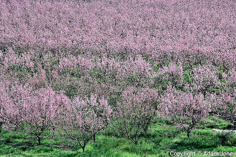 Peach tree orchard in full bloom, Lancaster, California