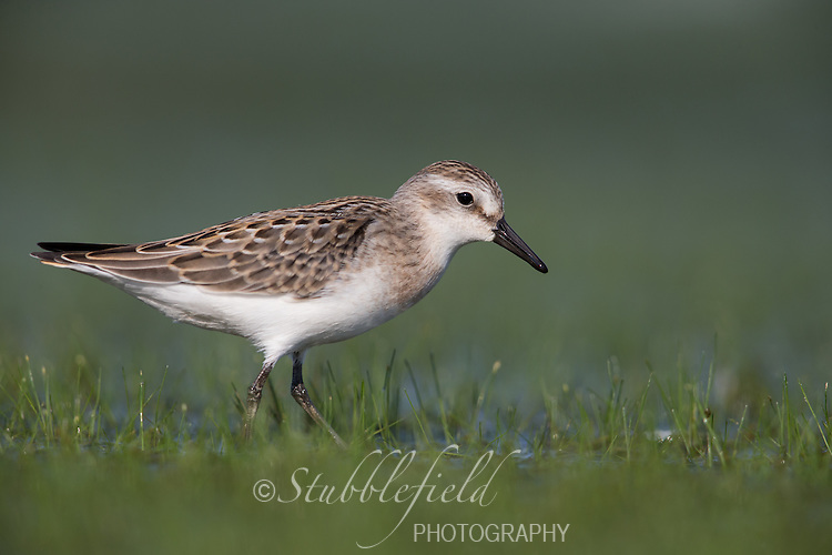 Semipalmated Sandpiper (Calidris pusilla), freshly plumaged juvenile foraging on the East Pond at Jamaica Bay Wildlife Refuge in New York City, New York.