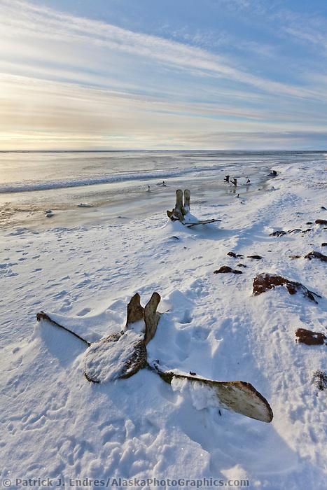 Relic Bowhead whale bones frozen in the snowy shore along Barter Island, Beaufort Sea, Alaska.
