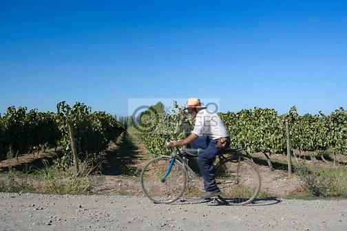 PICKER ON BICYCLE  CONCHA Y TORO VINEYARD SANTA CRUZ COLCHAGUA VALLEY CHILE