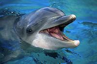 DolphinATLANTIC BOTTLENOSE DOLPHIN, Tursiops truncatus.