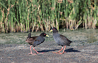 A pair of Black crakes comes together in the Serengeti.