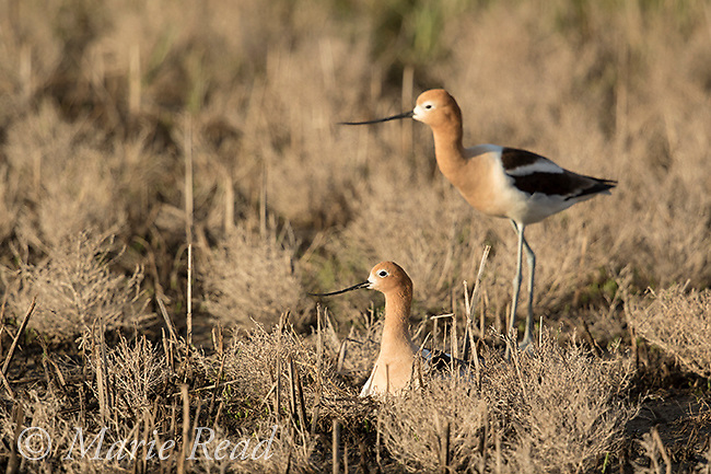 American Avocet (Recurvirostra americana), pair, female in foreground incubating on nest, male in background,Bear River Migratory Bird Refuge, Utah, USA