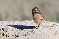 Burrowing Owl (Athene cunicularia) nestling standing outside nest burrow in sagebrush country. Idaho. July.