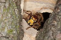 Hornisse, am Eingang zum Nest in altem Baum, Baumhöhle, Hornissennest, Hornissen, Portrait, Porträt, Vespa crabro, hornet, brown hornet, European hornet