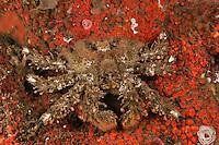 QX72102-D. Copper Rockfish (Sebastes caurinus). Washington, USA, Pacific Ocean.<br /> Photo Copyright &copy; Brandon Cole. All rights reserved worldwide.  www.brandoncole.com