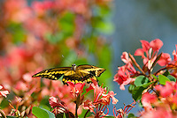 Giant Swallowtail Butterfly (Papilio cresphontes) flying among flowers..