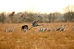 Sandhill cranes on the Lissie prairie.
