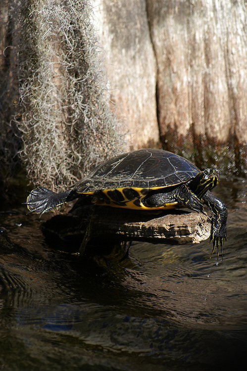 A turtle soaks up sun at the base of a cypress tree.