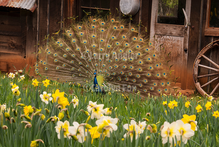 Peacock displaying his feathers in the daffodil flowers, McLaughlin's Daffodil Hill in bloom, Volcano, Calif.