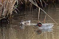 Krickente, Männchen und Weibchen, Pärchen, Krick-Ente, Anas crecca, Teal, green-winged teal, Sarcelle d'hiver