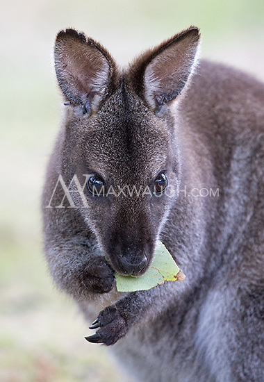 This is the standard look for the Bennett's wallaby.