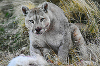 A mountain lion, or puma as they are known in South America, guards a guanaco kill in Torres Del Paine National Park, Chile.