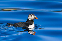 Juvenile puffin (Fratercula arctica) on flat calm waters just outside the Norweigian town of Reine in the Lofoton Island Group of Northern Norway, Norwegian Sea.