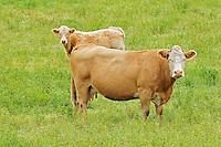 Cattle. <br /> Melville<br /> Saskatchewan<br /> Canada