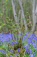 Unfurling Ferns amongst Hyacinthoides non-scripta (Bluebells)