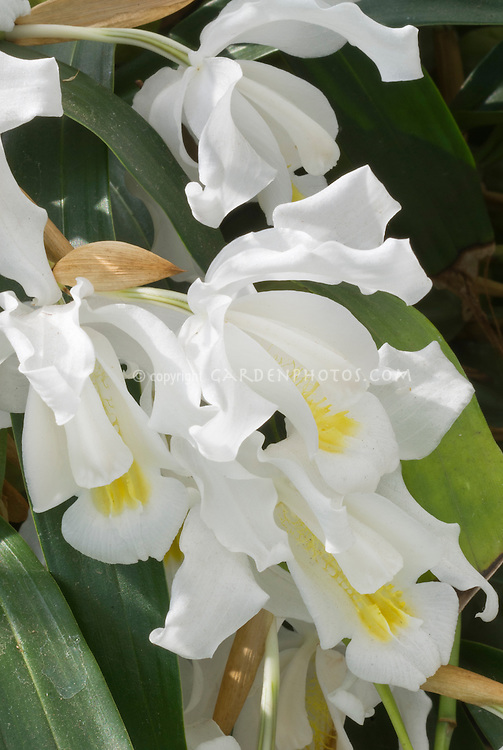 The crested coelogyne c cristata plant flower stock coelogyne cristata var lemoniana fragrant orchid species with beautiful wavy white flowers with yellow center mightylinksfo