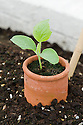Melon seedling growing in an open-bottomed terracotta collar. Watering the soil outside rather than inside the collar helps protect the stem from becoming waterlogged and reduces the risk of foot and root rot.
