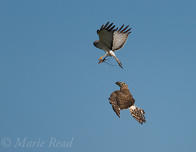 Northern Harriers (Circus cyaneus) pair during aerial food exchange near nest, Montezuma National Wildlife Refuge, New York, USA<br />