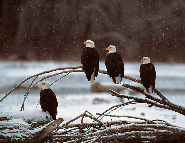 Bald Eagles on snow covered branch on the Chilkat River in Chilkat Bald Eagle Preserve.