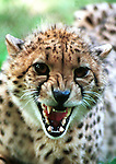 Cheetah snarl, Cheetah, cheetah growl,cheetah snarl, acinonyx jubatus,felidae, speed, fastest land animal, citrakayah, variegated body, Animal, wild animals, domestic animals,  Fine Art Photography, Ron Bennett Photography ©,  cat, disambiguation, felis catus, hunt vermin, growling, hissing, puring, chirping, clicking, Felis silvestris lybica, felidae, felinae, felis, Fine Art Photography by Ron Bennett, Fine Art, Fine Art photography, Art Photography, Copyright RonBennettPhotography.com ©