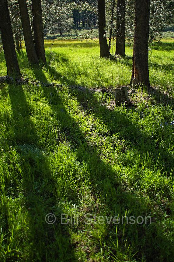 An image of shadows of pine trees falling across a green meadow near Trucke, Ca.