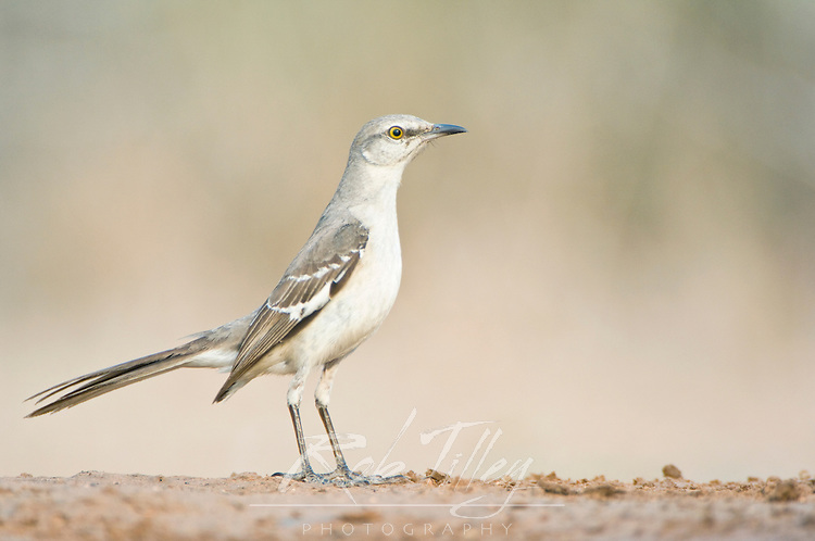 Texas, Rio Grande Valley, Santa Clara Ranch, Northern Mockingbird