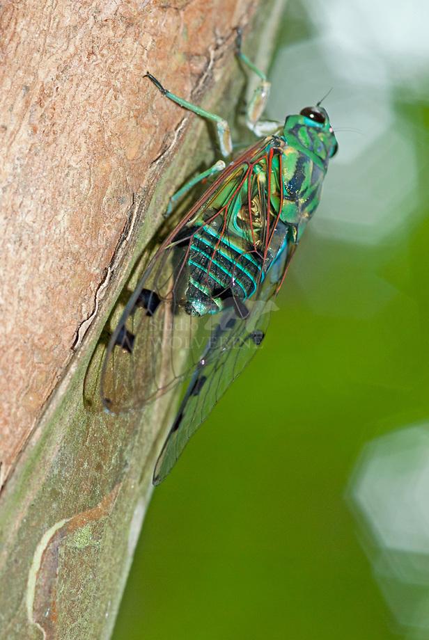 Emerald cicade (Zammara smaragdina)