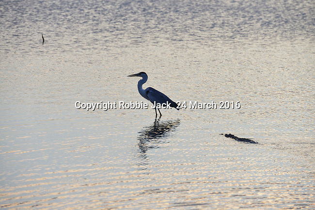 Yala National Park Sri LankaYala National Park Sri Lanka<br /> Grey Heron and Crocodile
