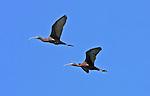 White-faced Ibis (Plegadis chihi). Sierra Valley. Near Beckwourth, Plumas Co., Calif.
