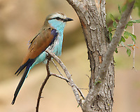 The Racket-tailed Roller (Coracias spatulatus) is a species of bird in the Coraciidae family.