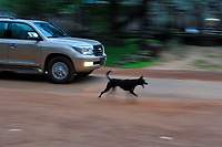 A dog and car caught in action activity near he popular Bayon temple ruins