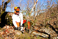 NWA Democrat-Gazette/FLIP PUTTHOFF <br /> BRINGING BACK THE GLADE<br /> Mark Clippinger, superintendent at Hobbs State Park-Conservation Area, cuts invasice eastern red cedar trees  Wednesday Feb. 15 2017 during a glade restoration project at the park. Hundreds of invasive cedars near the Shaddox Hollow Trail are being removed to restore a large glade. The cut cedars are being scattered in the glade for burning during a prescribed burn later this winter. Volunteers are needed on Saturday to carry small cedars uphill a short distance and scatter them as part of the restoration. Meet at the Shaddox Hollow trailhead on Arkansas 303 at 8:30 a.m. Volunteers are asked to call the park at 479-789-5009 so staff will know how much help to expect and how many pizzas to order for volunteers. Helpers should bring gloves, water and wear sturdy shoes.