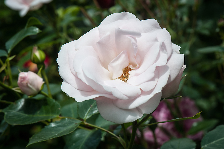 Rosa 'Special Child', late June. A cluster-flowering floribunda bush rose with pink buds that open to white flowers.