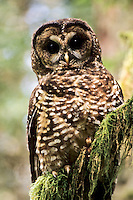 Spotted Owl, Mt Baker-Snoqualmie National Forest, Washington