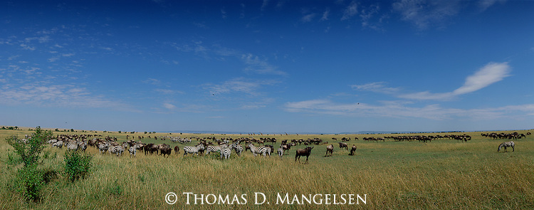 After the rainy season of late summer, zebra and wildebeest flock to lush savannahs where grass shoots explode in growth.<br /> Maasai Mara National Park, Kenya