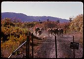 Cows on road to river. Gate closed.<br /> D&amp;RGW  Chama, NM