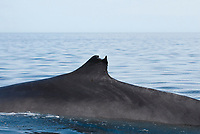 Fin whale (balaenoptera physalus) Gulf of California.The damaged fin of a fin whale., Baja California, Mexico, Pacific Ocean